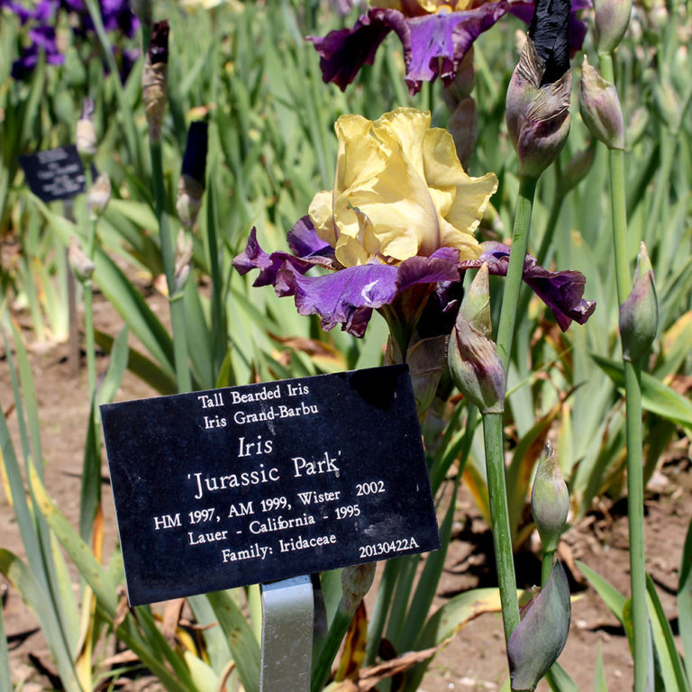 Plant Label In Front Of Bearded Iris - Named Jurassic Park