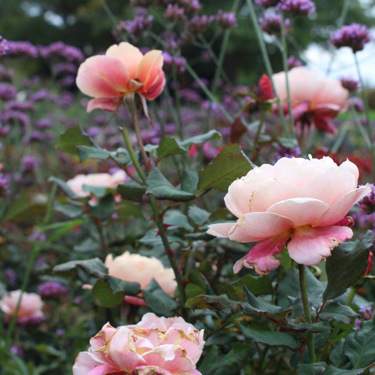 Botanical Collection Of Pink Roses And Purple Verbena In Bloom