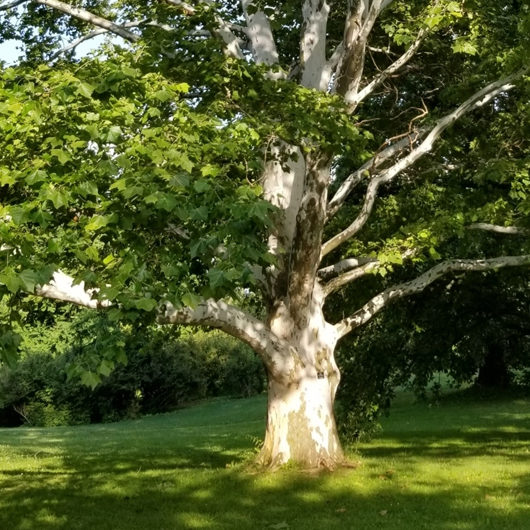 Sicamore Tree Arboretum