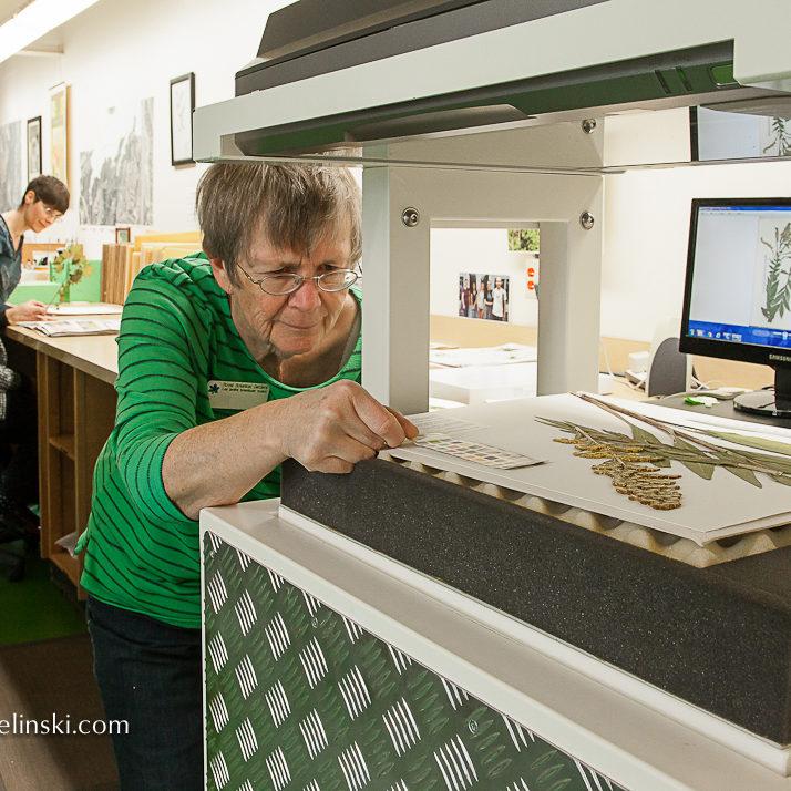 Volunteer Scanning Pressed Herbarium Specimen