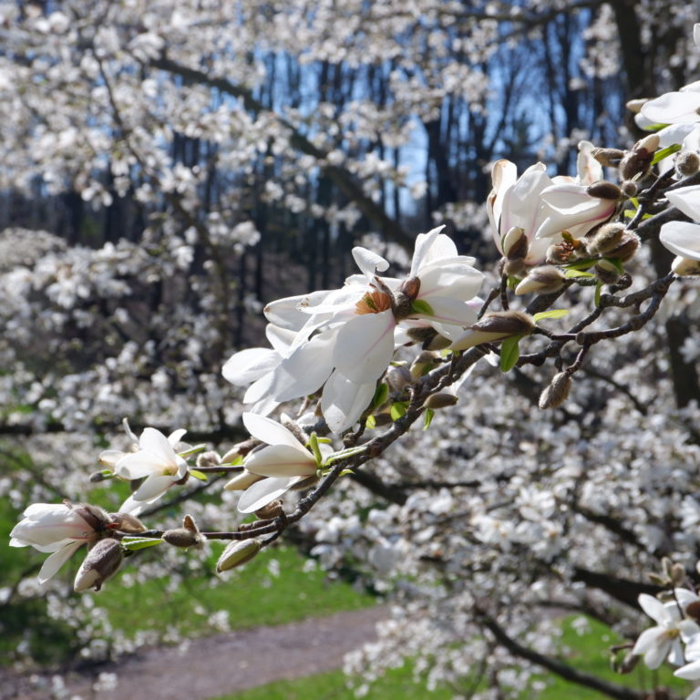 White Magnolia Blooms On Branch In Arboretum