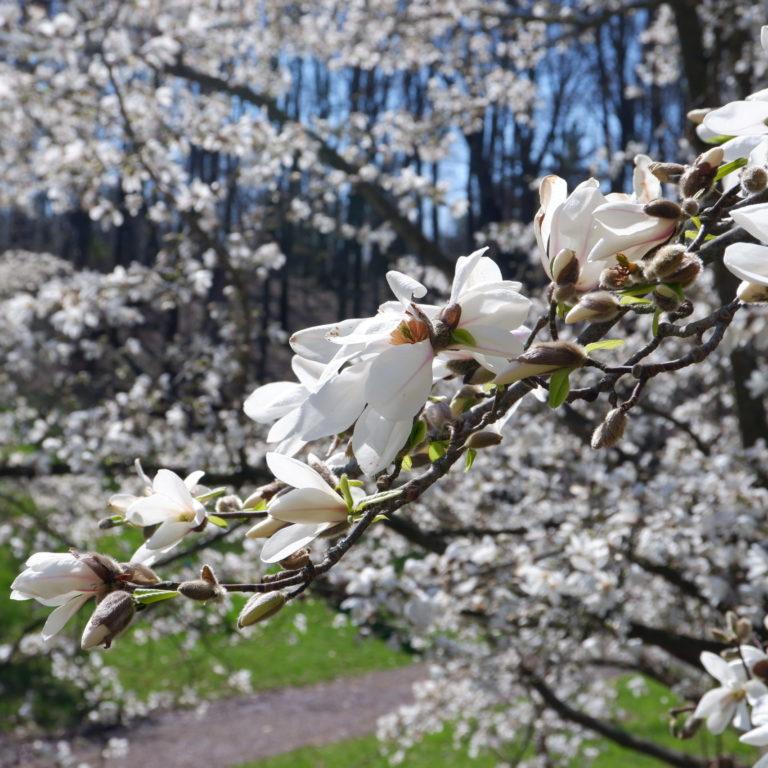 White Magnolia Blooms On Branch In Arboretum