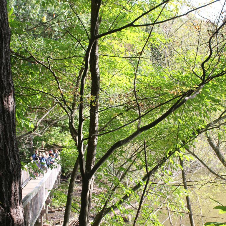 Tree-lined Boardwalk Trail