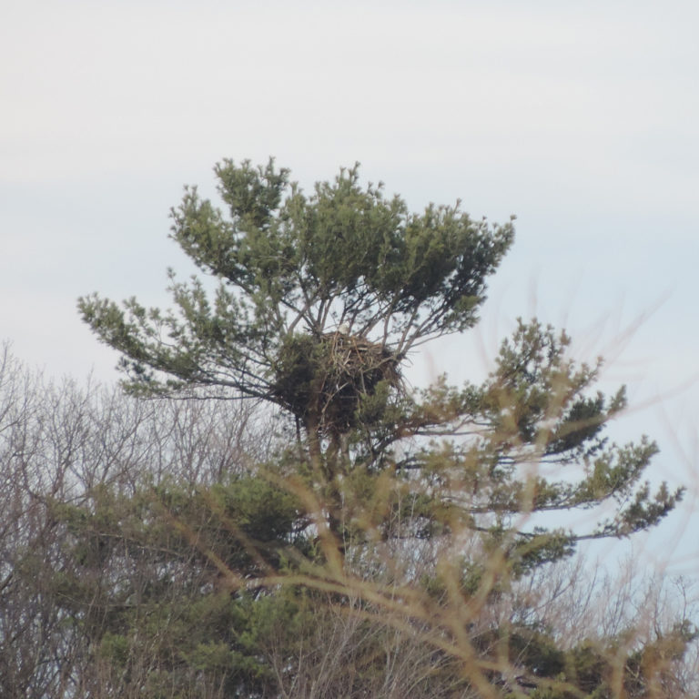 Bald Eagle Nest in Large Pine Tree