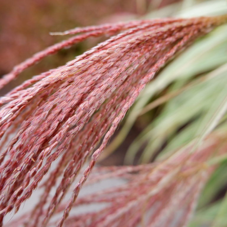 Chinese Silver Grass Dixieland