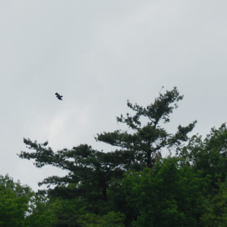 Juvenille Bald Eagle In Flight Above Nest