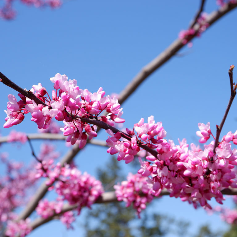 Close Up Of Redbud Blooms In Arboretum With Clear Blue Sky Backdrop