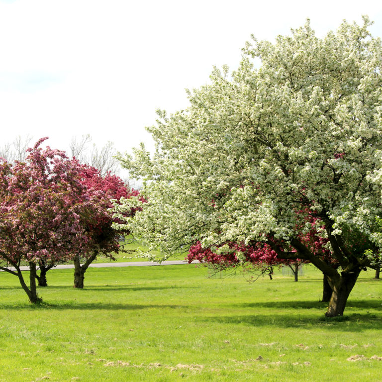 Arboretum White And Pink Crabapple Trees Blooming