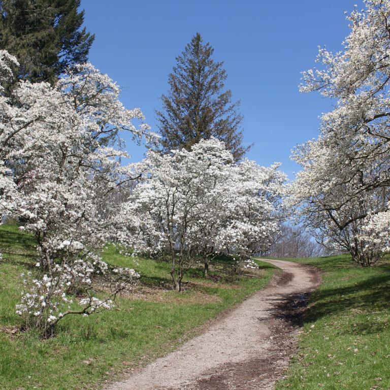 Arboretum White Star Magnolias In Bloom Lining Path