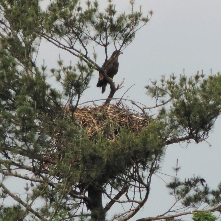 Bald Eagle Eaglet in Nest