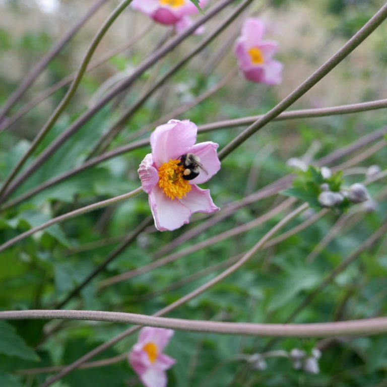 Bee Pollinating Japanese Anemone