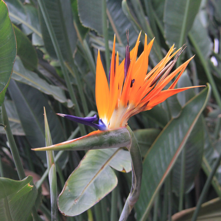 Horticultural Collections - Bird Of Paradise Bloom