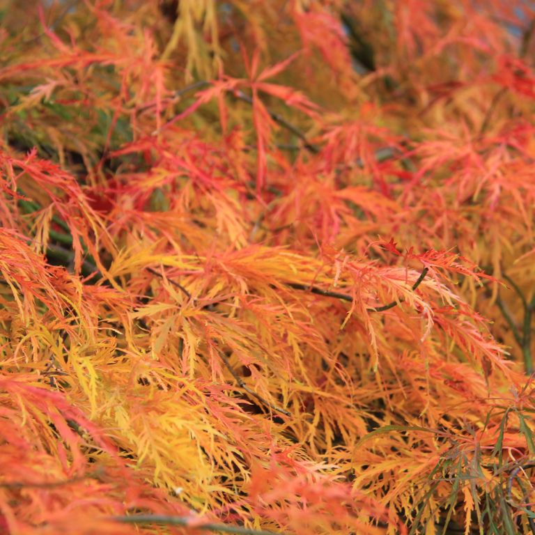 Bright Orange Leaves In Fall Royal Court