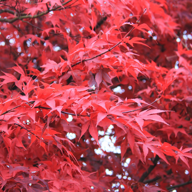 Bright Red Autumn Leaves Royal Court