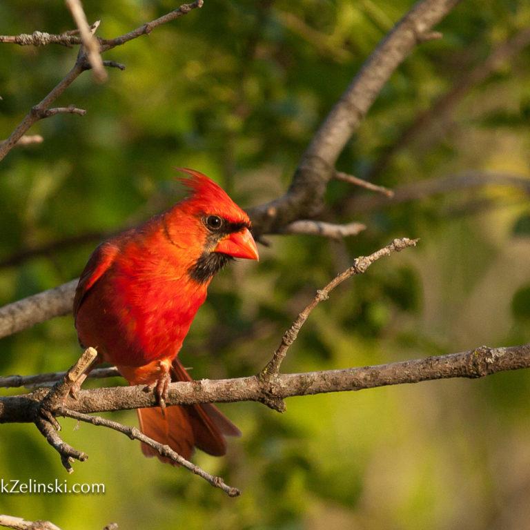 Male Cardinal on Branch