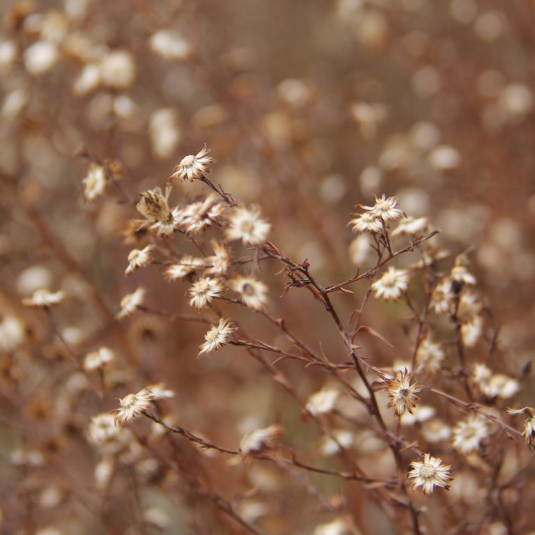 Dried Native Plants In Winter