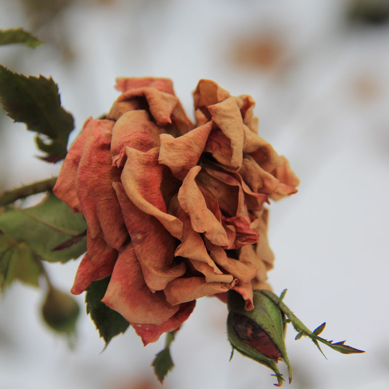 Dried Pink Rose With Snowy Background