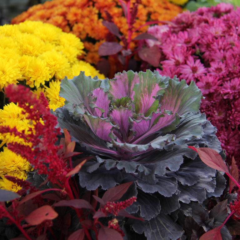 Fall Mum And Cabbage Display Breezeway