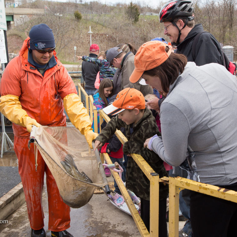 RBG Staff At Fishway Showing Fish In Net To Visitors