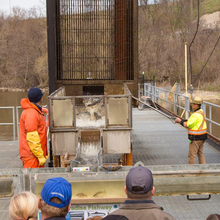 Staff at Fishway lifting large metal basket over a water chute to sort fish Credit Markzelinski.com
