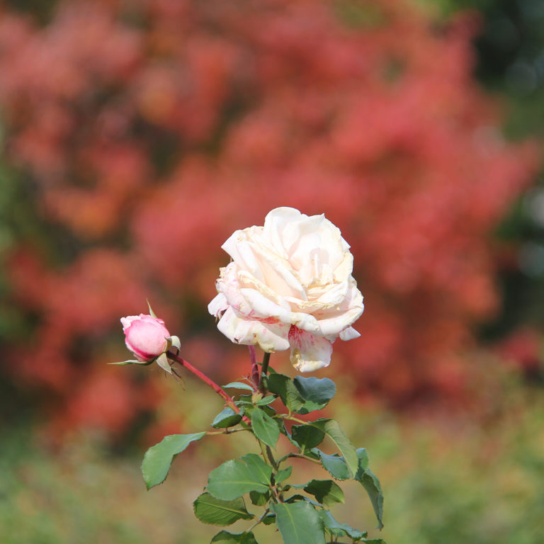 Floribunda Rose In Fall