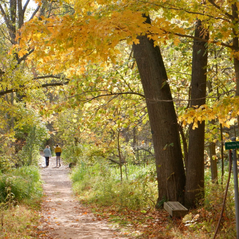 Grey Doe Trail With Yellowed Leaves In Fall