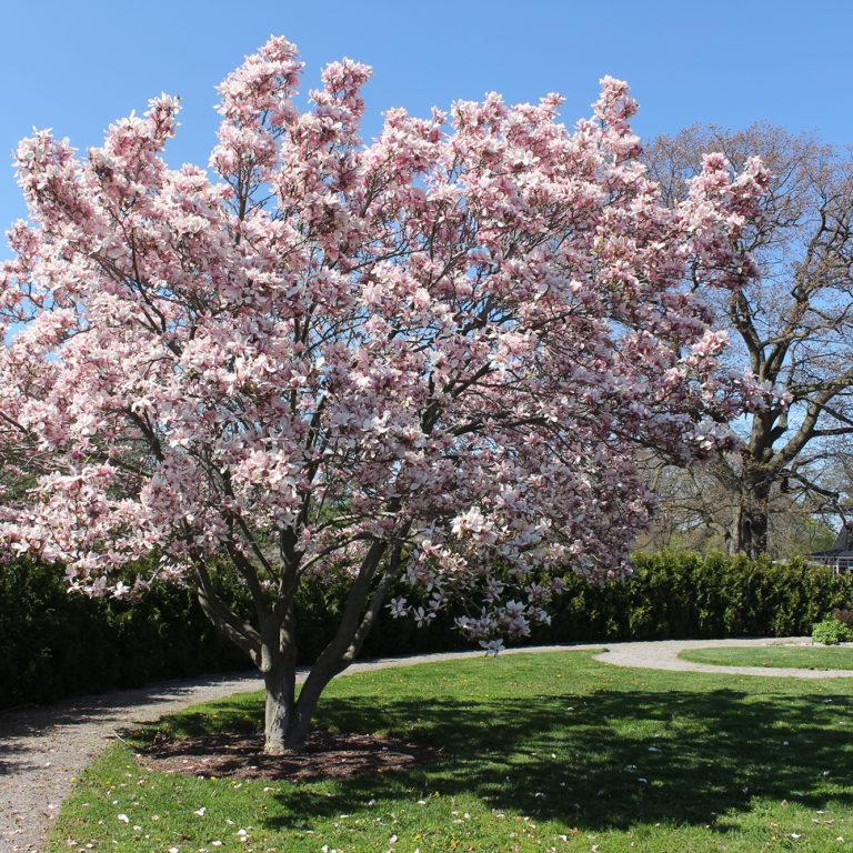 Hendrie Park Magnolia In Global Garden