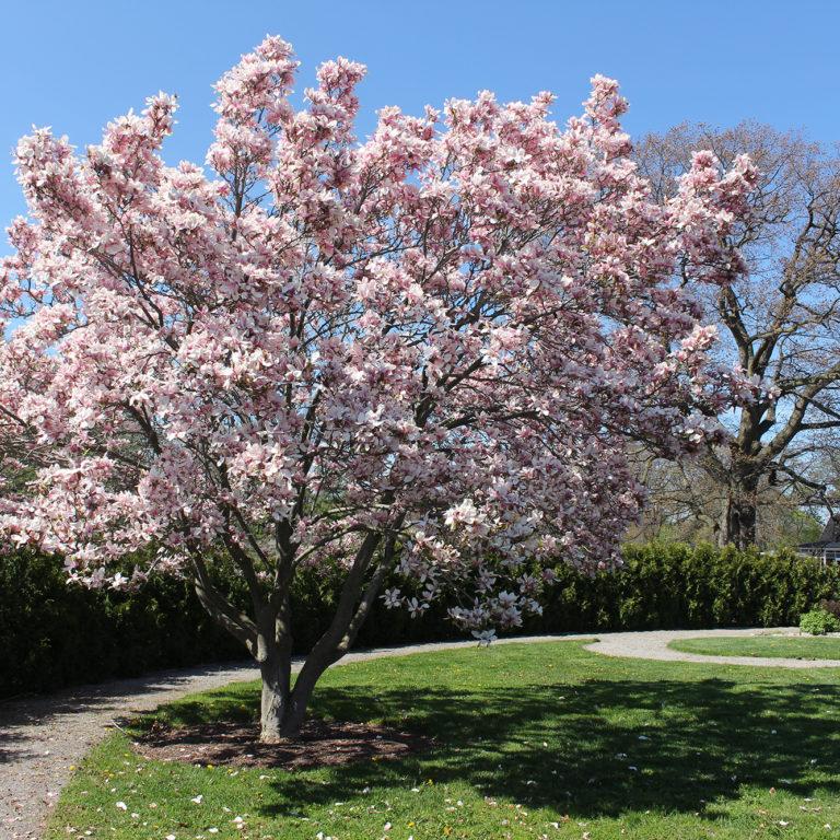 Hendrie Park Magnolia In Global Garden