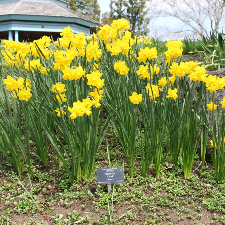 Laking Garden Group Of Daffodils In Blooms