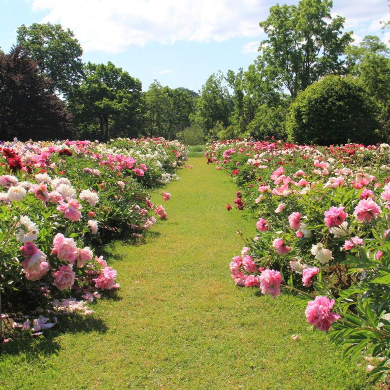 Laking Garden Rows Of Peonies In Bloom