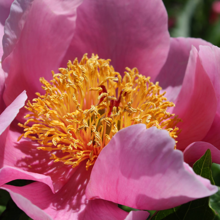 Large Pink Peony With Open Centre