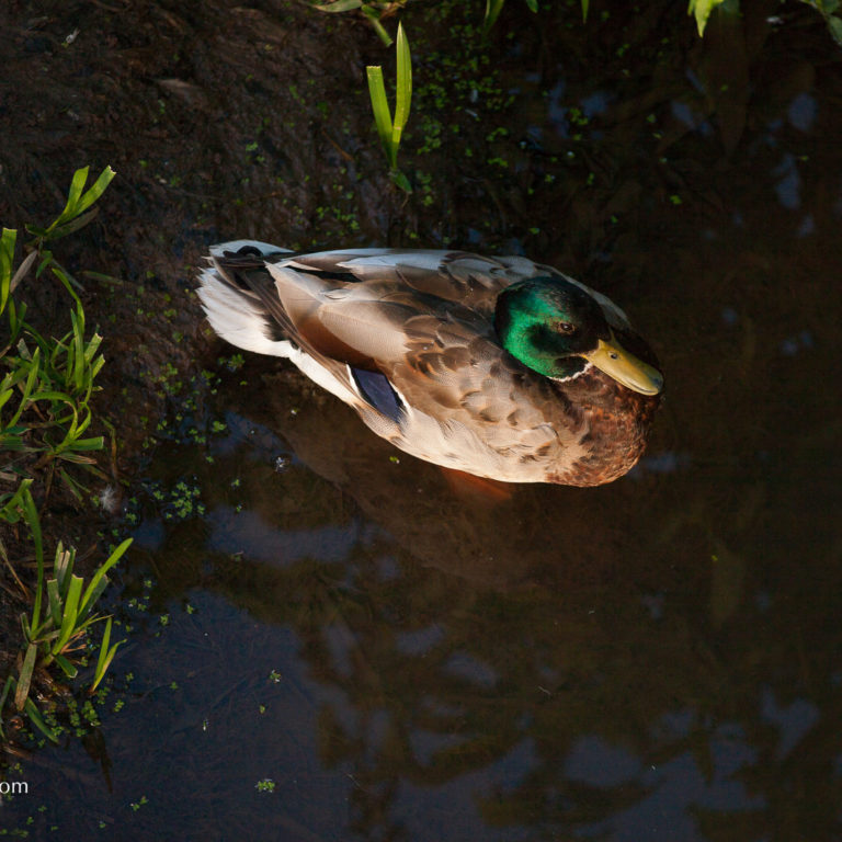 Mallard Floating in Marsh