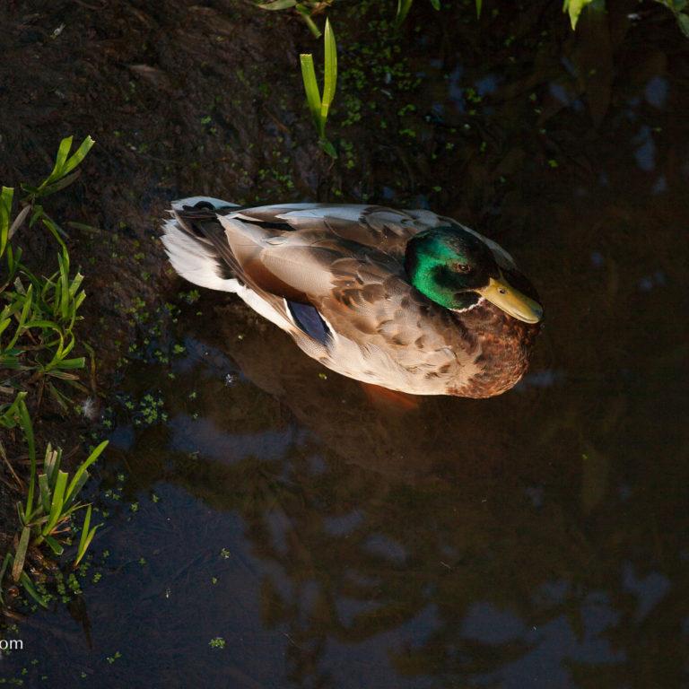 Mallard Floating in Marsh