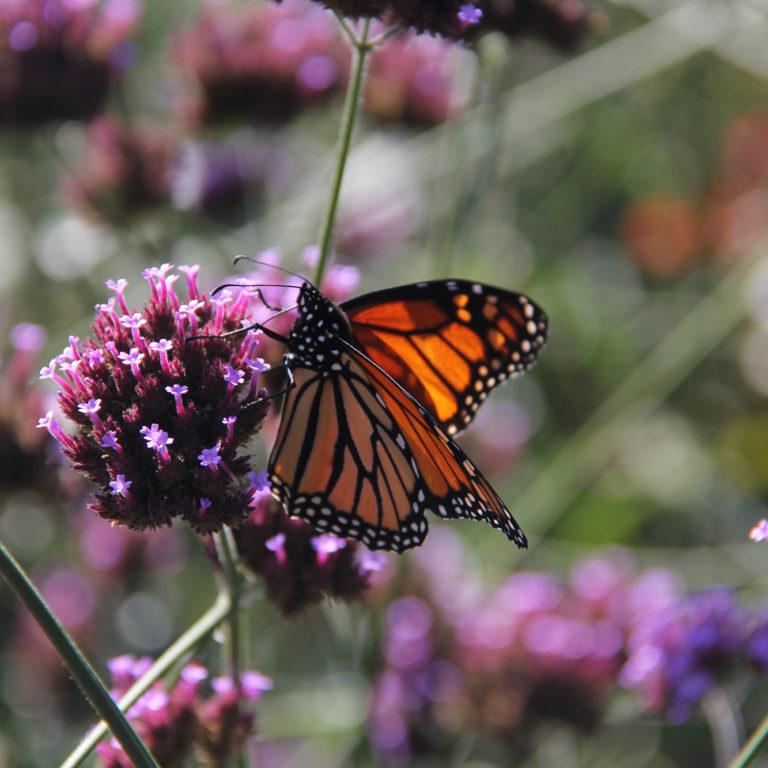 Monarch On Purple Verbana Bloom