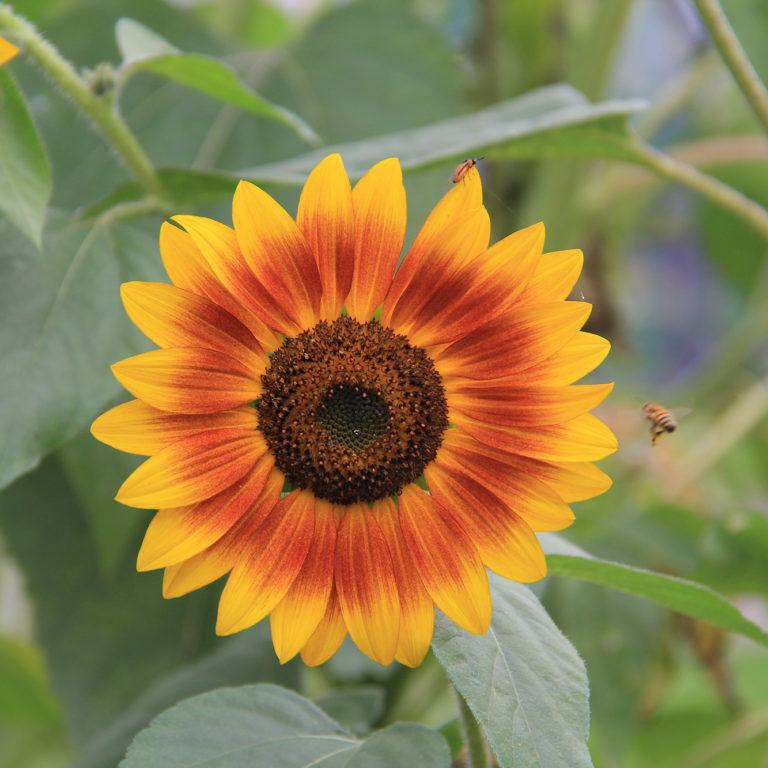 Multicoloured Sunflower Bloom