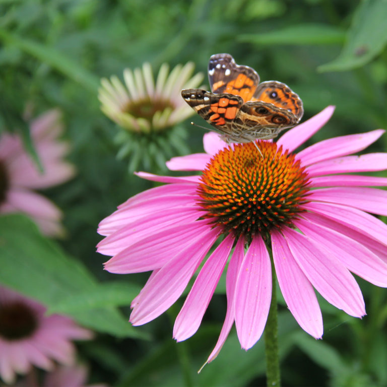 Painted Lady Butterfly On Pink Coneflower