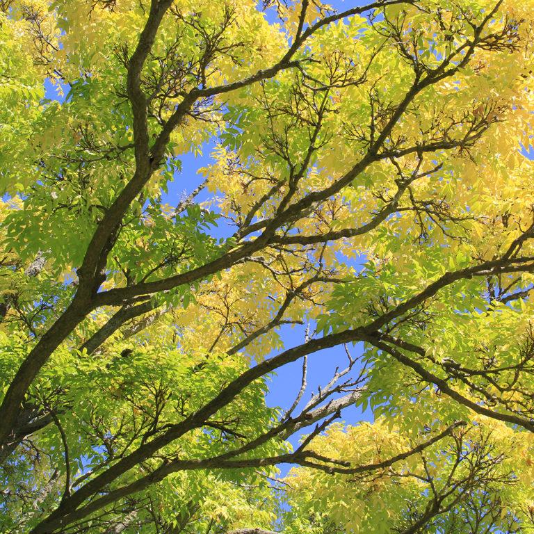 Phellodendron Amurense Leaves Turning Yellow