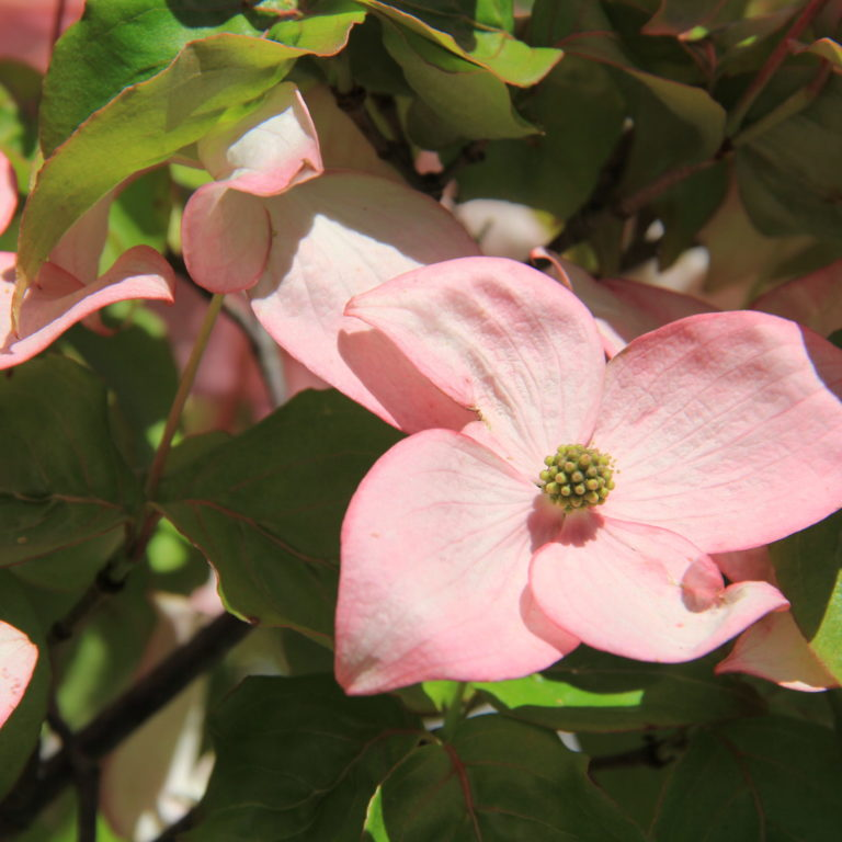 Pink Flowering Dogwood Bloom