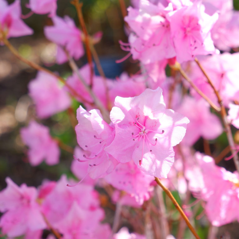 Pink Rhododendron Blooms