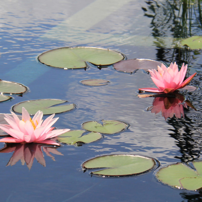 Pink Waterlilies In Reflecting Pond