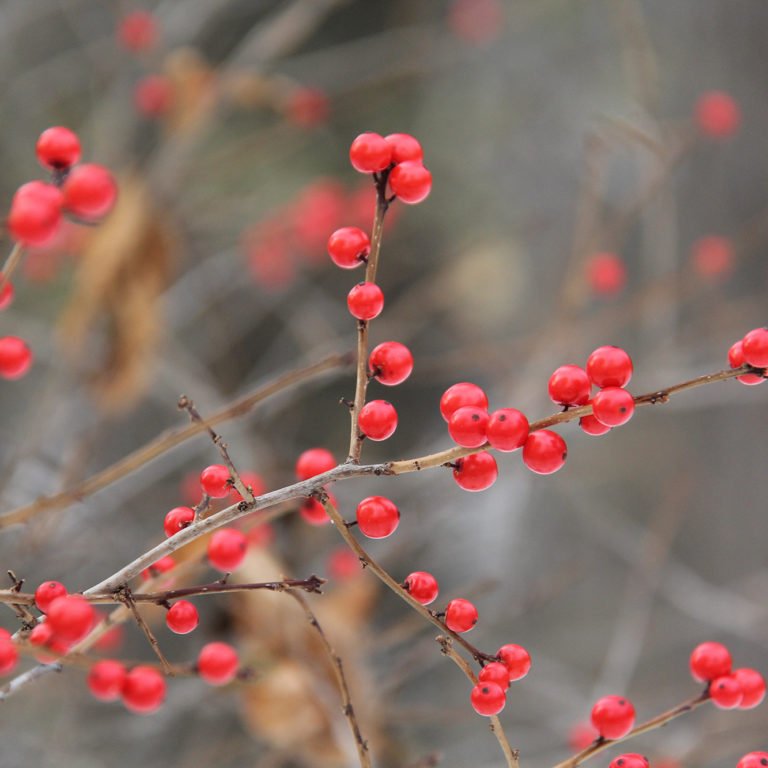 Red Berries From Winterberry