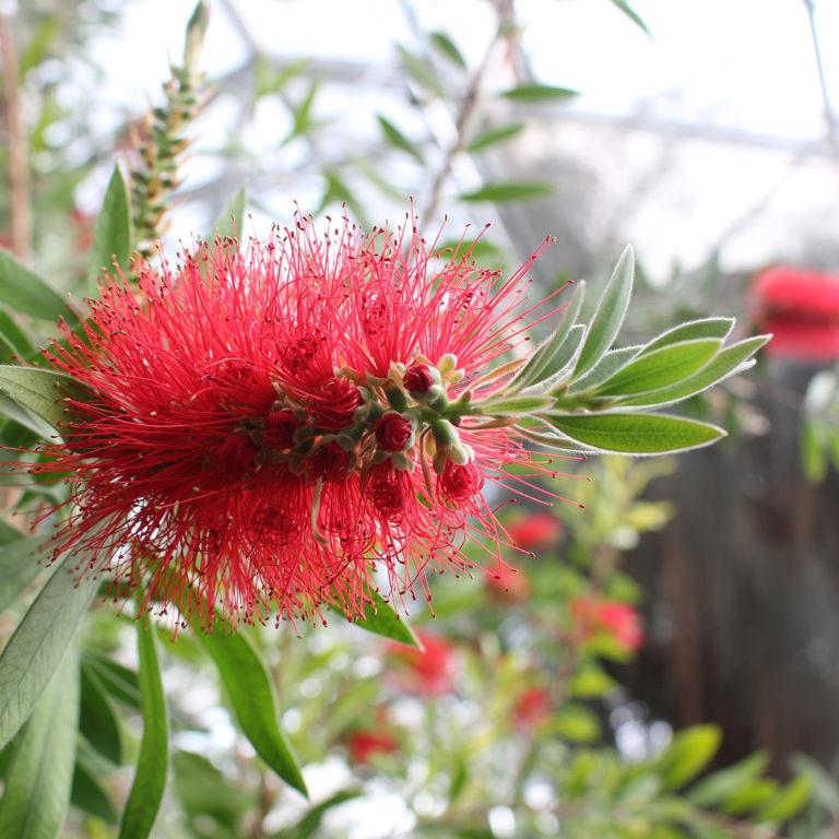 Red Bottlebrush Blooms In Greenhouse
