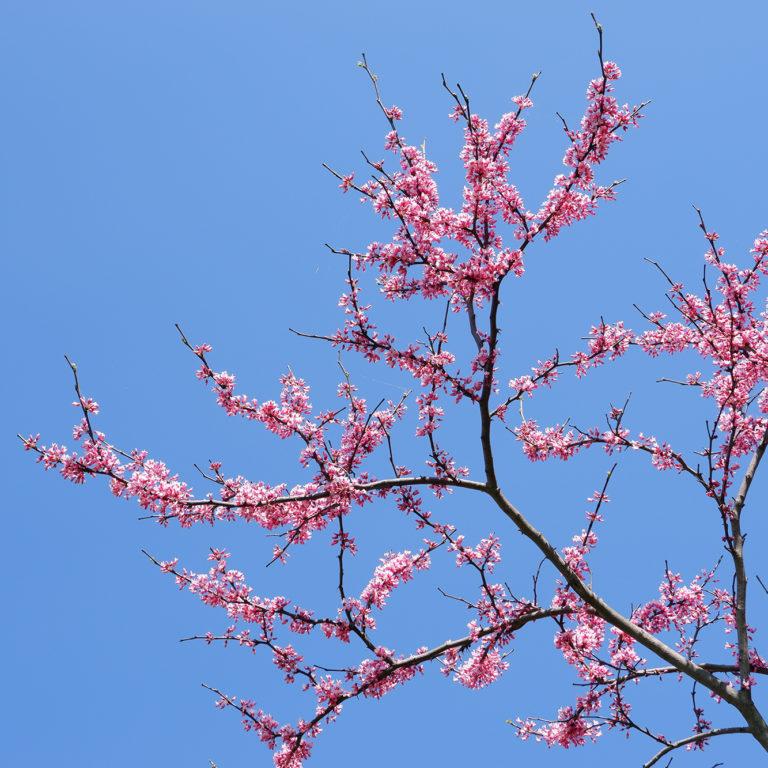 Redbud Blooms On Tree Against Blue Sky