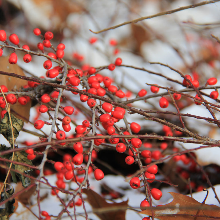 Rock Cotoneaster Red Berries In Snow