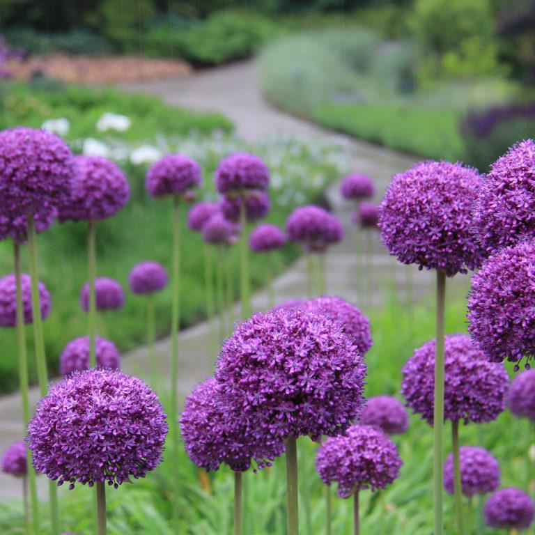 Rock Garden Purple Allium Blooms