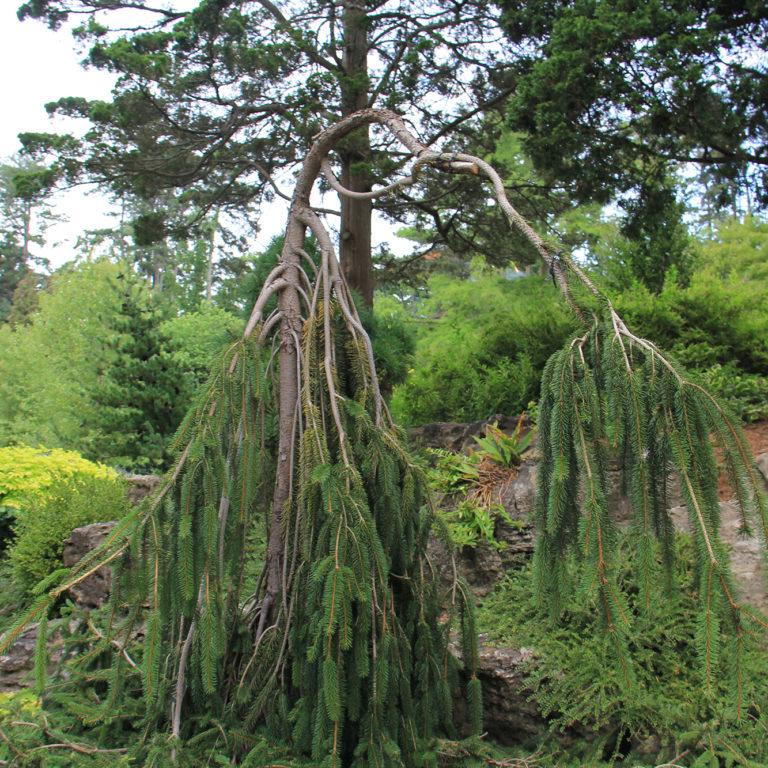 Rock Garden Weeping Norway Spruce