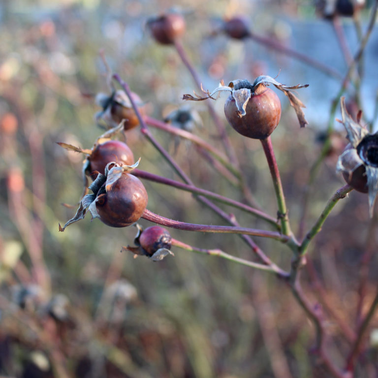 Rose Hips In Winter Rose Garden