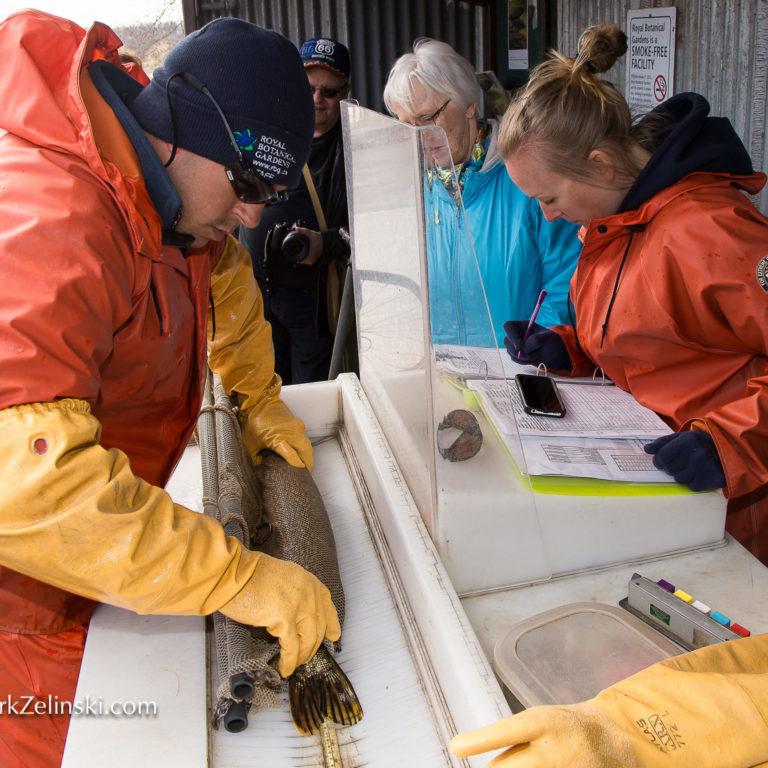 Staff Measuring Fish At Fishway Credit Markzelinski.com