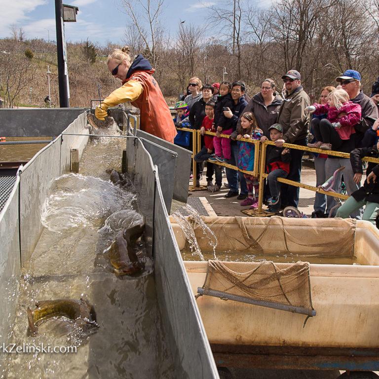 Staff Sorting Fish At Fishway Credit Markzelinski.com