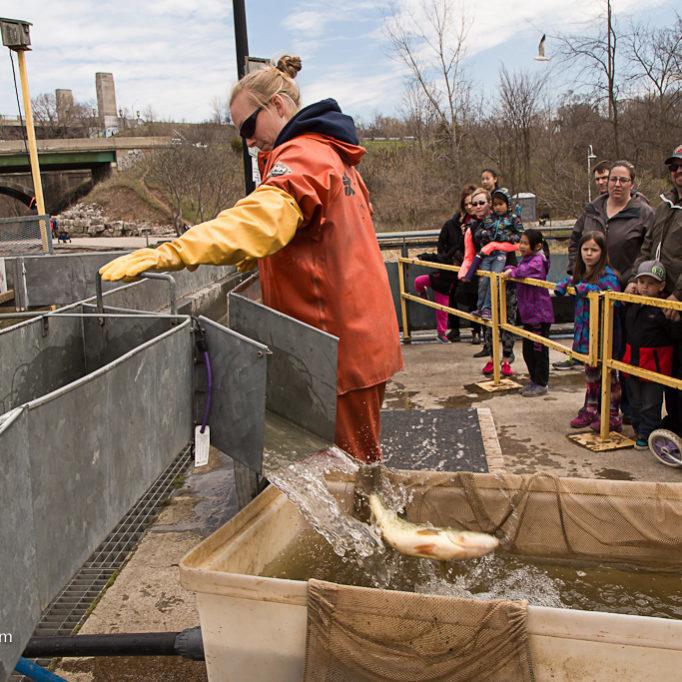 Staff Sorting Fish At Fishway For Crowd Credit Markzelinski.com